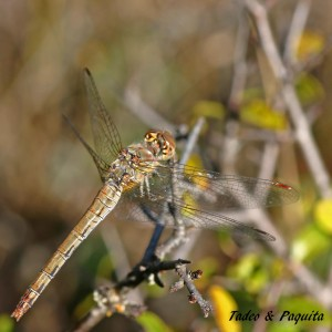 Sympetrum-fronscolombii
