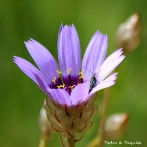 Catananche caerulea-